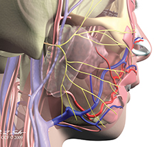 Digitally rendered model of veins in a face